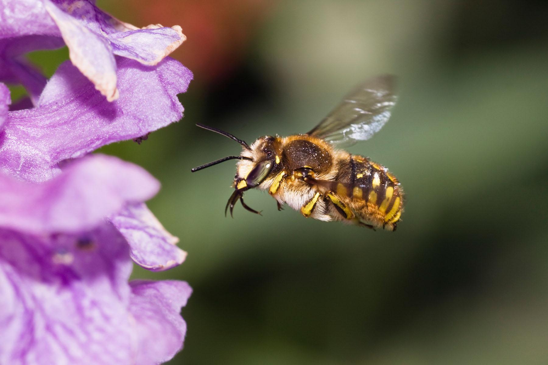 Bienen – ein Symbol für die Gefährdung der Artenvielfalt