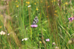 Schachbrettfalter (Melanargia galathea) im Biotop Allacher Haide bei München. Der Schachbrettfalter ist Schmetterling des Jahres 2019. Er braucht als Lebensraum blütenreiche Wiesen auf nährstoffarmen Standorten.