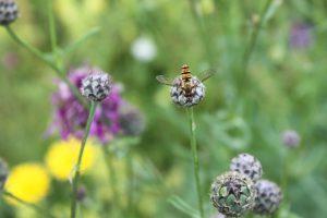 Schwebfliege auf einer Flockenblume im Biotop Langwieder Heide bei München. Schwebfliegen gehören zu den wichtigen Bestäuberinsekten.